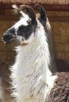 Loving llamas