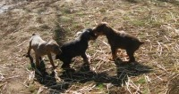 AKC REGISTERED DOBERMAN PUPPIES